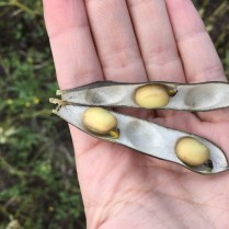 Faba beans at R8 on August 29.