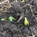 Soybeans emerging near Elm Creek with yellow cotyledons from stress during emergence on June 2, 2020 with yellow cotyledons - as stress symptom