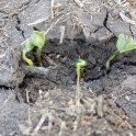 Soybeans near Birtle struggling to emerge through soil crust on June 2, 2020
