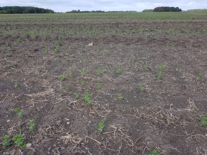 Peas at V2 following pea harvest on Sept. 7, 2020.