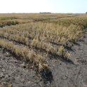 Wide-row dry bean variety trial near Carman on September 9.