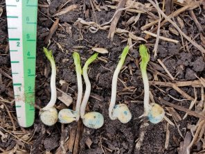 Peas emerging from a 1-inch depth near Dauphin on May 14.