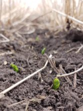 Peas emerging near Dauphin in between no-till cereal stubble on May 14.
