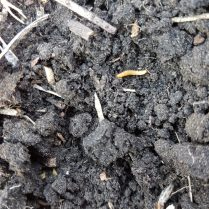 Wireworm in a soybean field.