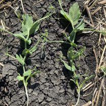 Peas with 6 true nodes (left) and 7 true nodes (right).