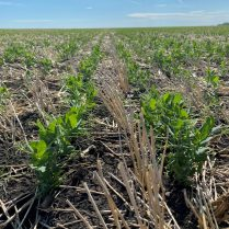 Field peas at the V6-V7 stage near Fannystelle on June 3.