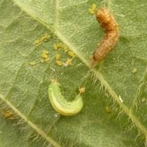 Hover fly larvae feeding on soybean aphids. Photo: John Gavloski, MARD.