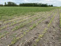 A patch of poor growth at the edge of a soybean field with soybean cyst nematode present on the roots (July 9).