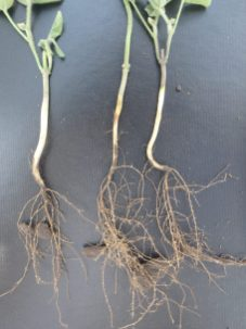 Appearance of cysts on soybean roots on July 9 in southern Manitoba.