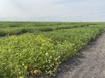 Soybean variety evaluation trial at Morris starting to show signs of maturity on August 19.