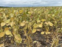 Soybeans near Morden at R7 with pods starting to turn brown (Aug 24).