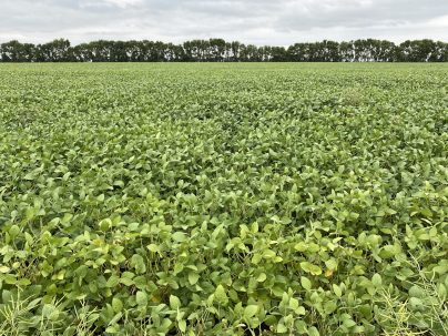 Previously wind-damaged soybeans near Manitou that recovered (Aug 24).