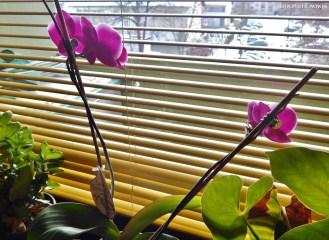 Friend's orchid in Velenje.
