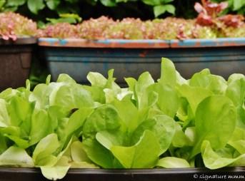 Uncle's lettuce.