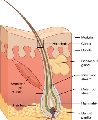 How hair follicle looks like and how hair grows