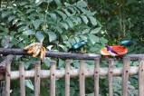 Lesser Blue-eared Starling & purple bird (unknown)