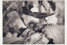 """""""Thistle"""", 1998. Photogravure, edition of 20. Image: 7"""" x 10 ¼"""", paper: 11"""" x 14""""."""