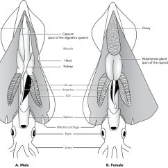 Labeled Squid External Anatomy Diagram Sony Cdx Gt565up Wiring Male Internal