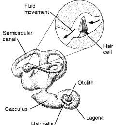 fish ear diagram wiring diagram megafish ear diagram wiring diagram datasource fish ear diagram [ 1024 x 1421 Pixel ]
