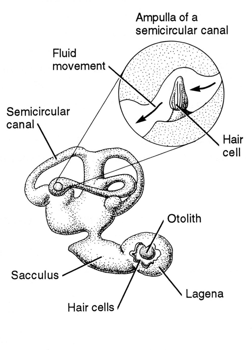 medium resolution of fish ear diagram wiring diagram megafish ear diagram wiring diagram datasource fish ear diagram
