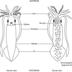 Labeled Squid External Anatomy Diagram Fully Human Skeleton Of A Wiring Diagrams Fig 3 71 1 U003cp