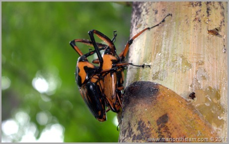 Beetles, Northen Thailand