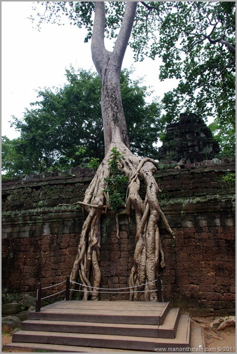 Tree growing over wall, Ta Prohm, Angkor, Siem Reap Province, Cambodia