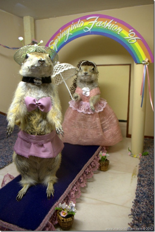 Gopher contestants in beauty pageant at Gopher Hole Museum, Torrington Alberta
