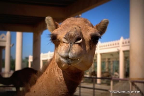 Janabiya-Royal-Camel-Farm-Bahrain-3.jpg