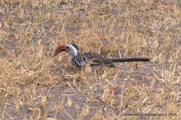 Red-billed Hornbill -- Tarangire National Park, Tanzania