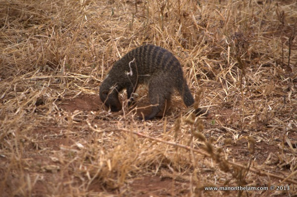 Mongoose digging a hole -- Tarangire National Park, Tanzania