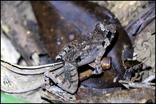 International Bornean Frog Race, Kumpah, Sarawak, Borneo, Malaysia-319