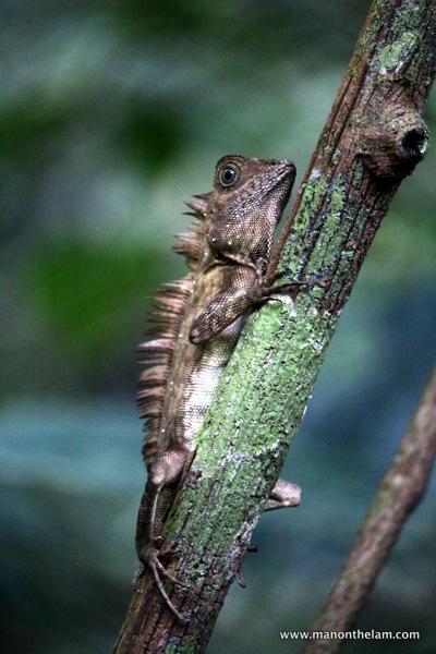 lizard -  Mulu Caves National Park Sarawak Borneo Malaysia.JPG