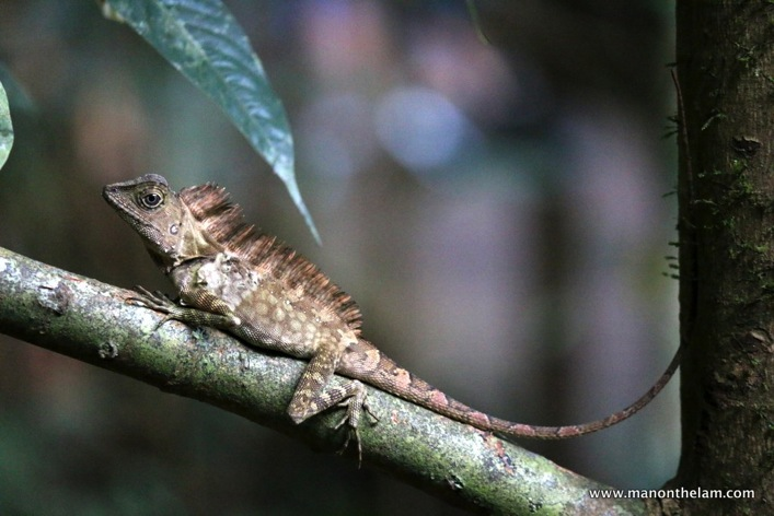 lizard lounging -- Mulu Caves National Park Sarawak Borneo Malaysia.JPG