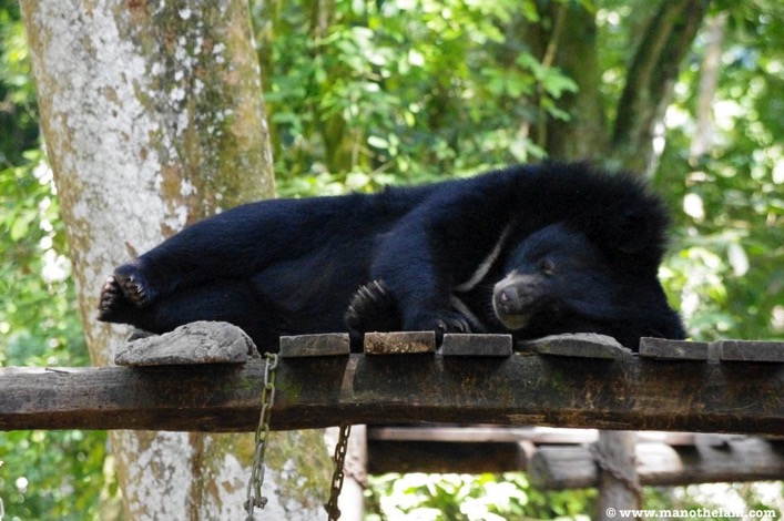 Another bear taking a nap Free the Bears Laos Rescue Centre