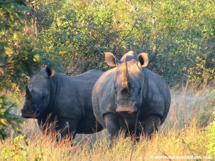Rhinoceros in Africa