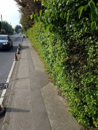 Face and top privet hedge( South Woodham Ferrers Main Road) removal of crab apple 2