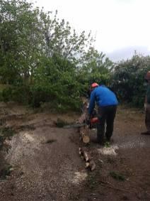 Taking down x6 leylandii tree tillingham marshes 10