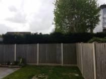facing back and topping leylandii hedge alongside the boundary (Burnham on Crouch)3