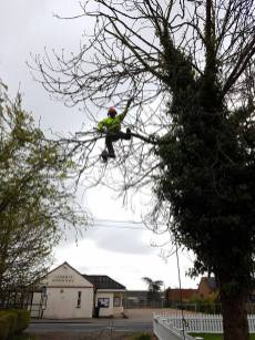 Reducing a ash tree althorne hill (before)4