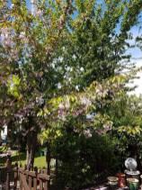 Reducing a mixed species of tree( Lillian Road Burnham)2