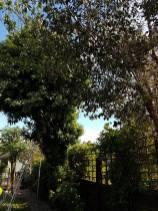 Reducing a mixed species of tree( Lillian Road Burnham)46