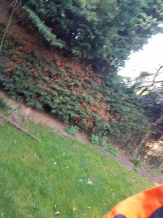 Reducing in height conifers alongside at the boundary line(Burnham on Crouch)1
