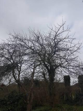 Reducing & thinning a cherry tree Danbury 2