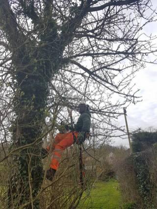 Reducing & thinning a cherry tree Danbury 3