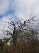 Reducing & thinning a cherry tree Danbury 7