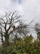 Reducing & thinning a cherry tree Danbury 8