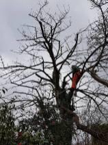 Reducing & thinning a cherry tree Danbury 9