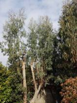 take down eucalyptus2