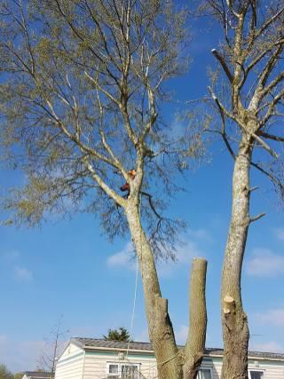 Take down poplar tree Steeple Bay caravan park10